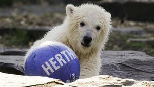 Hertha Berlin yavru kutup ayısına sponsor oldu