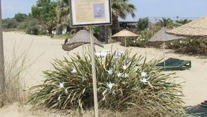 Pamucak sahilinde kum zambakları azalıyor