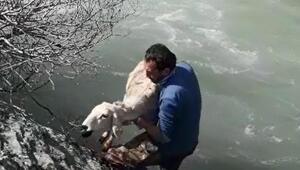 Hurman Çayında mahsur kalan koyunu öğretmen kurtardı