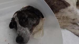 Kürekle vurulan belinin kırılmasıyla felç kalan köpek ameliyat oldu