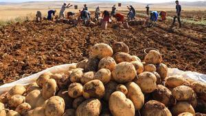 Çukurovada turfanda patates hasadına başlandı