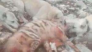 Çizgili sırtlanı köpeklere parçalatan 5 kişiye para cezası