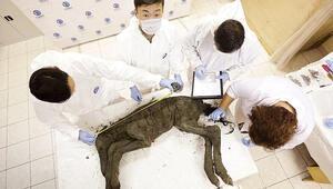 42 bin yıllık tay kanından klonlanacak