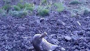 Erzincanda ur kekliğinin varlığı fotokapanla kanıtlandı