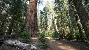 Sekoya nedir İşte sekoya ağacının özellikleri