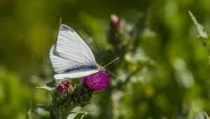 Yağışlar arttı, Dicle Vadisini kelebekler bastı