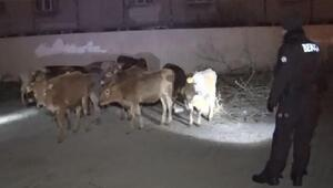 Çiftlikten kaçan hayvanlar, bekçiler tarafından bulundu