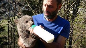 Boz ayı yavrusunu evinde besliyor
