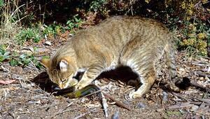 Avustralya'nın iki milyon kediyi öldürme kararı