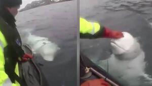 Norveç bu iddiayı konuşuyor: Askılı balina Rus casusu olabilir