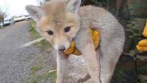 Arazide bulunan yavru tilki, korumaya alındı