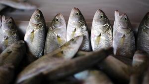 Kıyı balıkçıları lüfer ve çinekopa hazırlanıyor