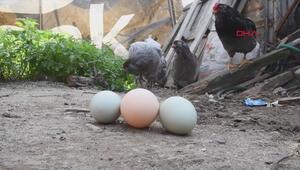 Bu tavuklar mavi yumurtluyor