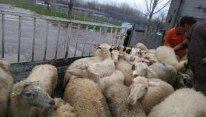 Simavda iki genç çiftçiye damızlık koyun ve koç desteği