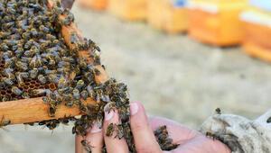 Arı ölümlerine arı otu çare olacak