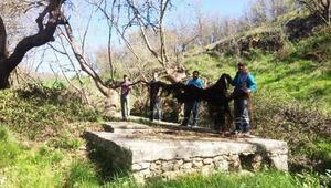 Su borularından 10 metrelik ağaç kökü çıktı