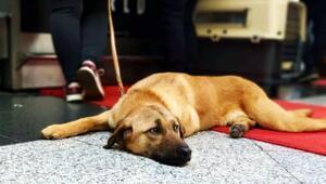 Bacaklarından vurulan köpeğe ABDli aile sahip çıktı