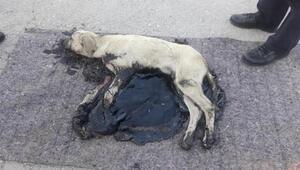 Köpek, tankerden dökülen zifte yapıştı