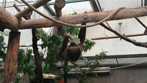 Türkiye'de dünyaya gelen ilk tembel hayvan Manyana 1 yaşına girdi