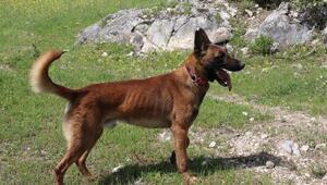 Eylülü bulan kadavra köpeği Abrek, Ecrini de arıyor