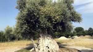 1300 yıllık anıt zeytin ağacı Erdoğanı bekliyor