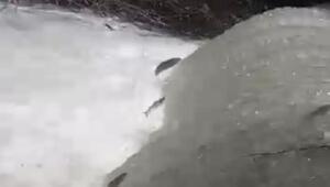 Elazığda Siraz balığının tersine göçü ilk kez görüntülendi