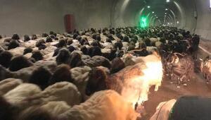 Göçerler, binlerce küçükbaşı tünelleri kullanarak yaylaya çıkardı