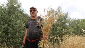 Antalyada yılın ilk buğday hasadı başladı