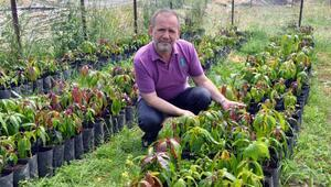 Gazipaşada mango ağacı sayısı 5 bini buldu