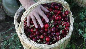 Kiraz sapının faydaları neler Kiraz sapı çayı nasıl yapılır