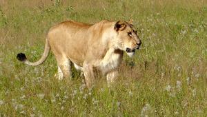 Kamerunda kenti kaçak aslan korkusu sardı