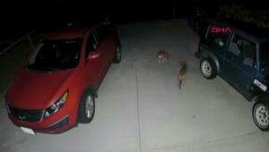 Kedi kendisine saldıran çakalları böyle kovaladı