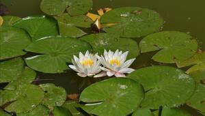 Lotus nedir, özelliği nedir