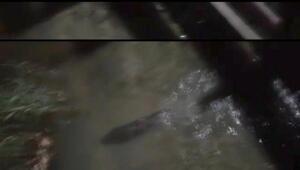 Sapanca Gölünde su samuru görüldü