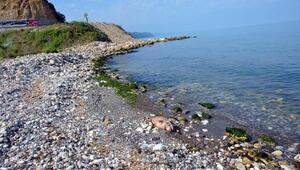 Alaplı'da kıyıya 2 ölü yunus vurdu