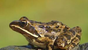 Yalnızca Türkiye'de bulunan toros kurbağası hangi ilimizde yaşamaktadır