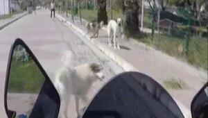Silivride etrafını köpekler saran motosiklet sürücüsünün zor anları