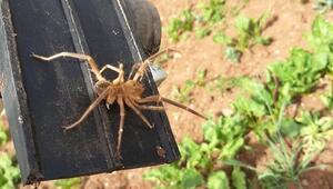 Elazığda etçil örümcek endişesi Hep belgesellerde görürdük ama...