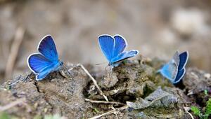 Bahar müjdesi kelebekeler fotoğrafçıların ilgi odağı
