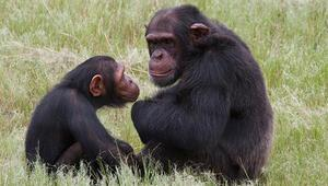 İngilterede bazı zenginler düğünlerde şempanze eti yiyor