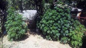 Arazisinde Hint keneviri yetiştirildiği ihbarında bulundu, gözaltına alındı