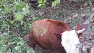 150 metrelik uçuruma düşen inek iki gündür mahsur