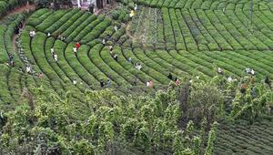 Rizedeki çay tarlasına ziyaretçi akını