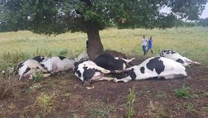 Yıldırım isabet eden ağacın altındaki 8i gebe 10 inek öldü