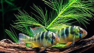 Sevdiğinden ayrı düşen dişi zebra ciklet balıkları mahzunlaşıyor