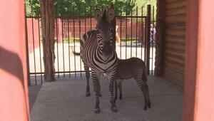 Nadir görülen melez zebra türü Zebroid ilgi odağı
