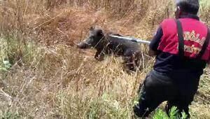 Yavru yaban domuzu, düştüğü kuyudan kurtarıldı
