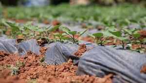 30 yıl önce uyutulan tohumlar toprakla buluştu