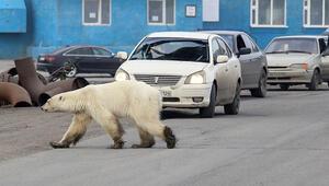 Aç ve bitkin kutup ayısı şehre indi