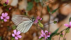Ovacık kelebeklerle şenlendi
